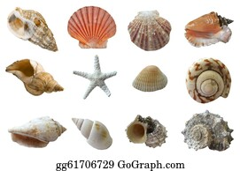 Seashell - Seashell Collection Isolated On White Background