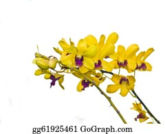 Orchid-Flower - Dendrobium Orchid Flower On White Background
