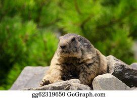 Prairie - Groundhog