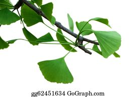 Ginkgo-Branch-With-Leaves-Vector - Fresh Leaves Ginkgo