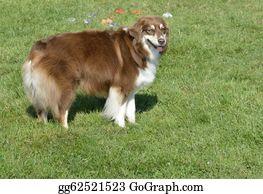 Border-Collie - Canine Fun Days