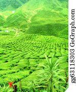 Plantation - Green Tea Plantation