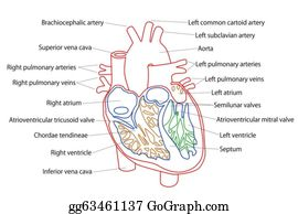 stock illustration - human heart structure. clipart drawing, Cephalic Vein