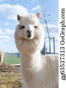 Alpaca - White Alpaca