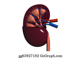 Human-Kidney-Medicine-Anatomy - Human Kidney