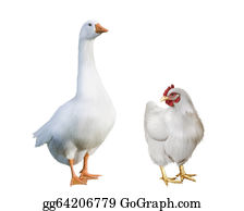 Poultry - White Goose And White Chicken.