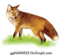 Poultry -  Adult Shaggy Red Fox Standing In The Grass.