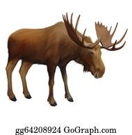 Antler - Moose. Adult Male Elk.
