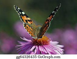 Chrysanthemum - Butterfly On Chrysanthemum