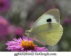 Chrysanthemum - Butterfly On Flower