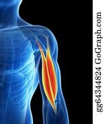 Biceps - Human Biceps
