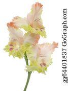 Gladioli - Gladiolus