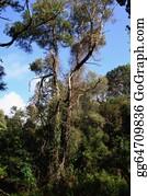 Eucalyptus - Portuguese Jungle