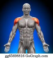 Head-And-Shoulders - Shoulders / Deltoid - Anatomy Muscl