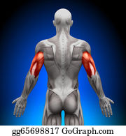 Biceps - Triceps - Anatomy Muscles
