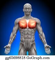 Head-And-Shoulders - Chest / Pectoralis Major / Pectoral