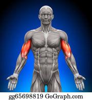Head-And-Shoulders - Biceps - Anatomy Muscles