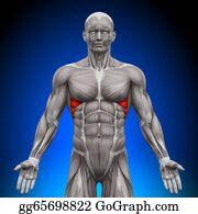 Head-And-Shoulders - Serratus Anterior - Anatomy Muscles