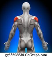 Head-And-Shoulders - Shoulders - Anatomy Muscles