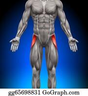 Head-And-Shoulders - Tensor Fasciae Latea - Anatomy Musc
