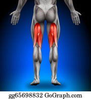 Head-And-Shoulders - Hamstrings - Anatomy Muscles