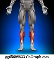 Biceps - Calves - Anatomy Muscles