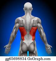 Head-And-Shoulders - Latissimus Dorsi - Anatomy Muscles