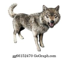 Growl - Wolf Growling Standing On White Background.