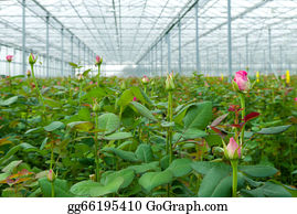 Cultivation - Greenhouse With Roses