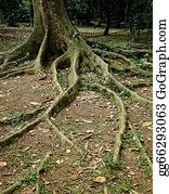 Big-Tree - Roots On The Ground