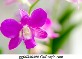 Orchid-Flower - Purple Orchid.