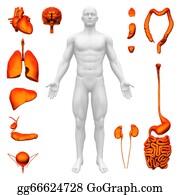 Human-Kidney-Medicine-Anatomy - Internal Organs - Human Anatomy