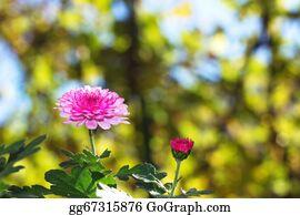 Chrysanthemum - Chrysanthemum Flowers