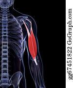 Biceps - 3d Rendered Illustration Of The Biceps