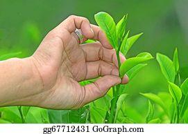 Plantation - Tea