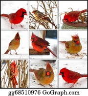 Cardinal-Bird - Red Cardinals Collage - Male/female