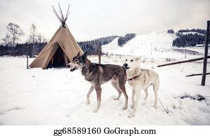 Huskies - Husky Dogs, Central Finland