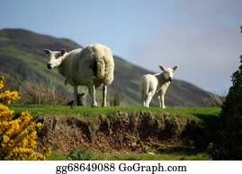 Lamb - Sheep With Lamb On Pasture In Scotland