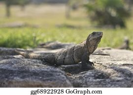 Cancun - Iguana Looking Ahead