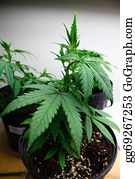 Cultivation - Medicinal Marijuana Cultivation
