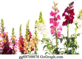 Gladioli - Gladiolus And Other Flowers