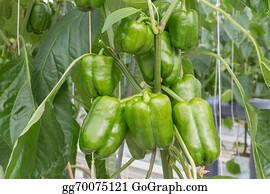 Cultivation - Cultivation Of Green Peppers In A Dutch Greenhouse