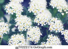 Bush-Of-Wild-Flowers - Spiraea With White Flowers