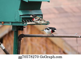 Bird-Feeder - Grosbeak, Rose-Breasted On Feeder