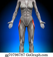 Head-And-Shoulders - Glutes Medius - Female Anatomy