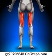 Head-And-Shoulders - Hamstrings - Female Anatomy Muscles