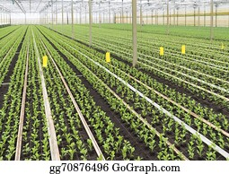 Cultivation - Young Plants In Greenhouse