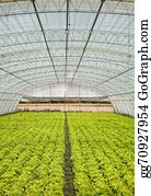 Cultivation - Lettuce In A Greenhouse