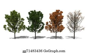 Four-Seasons - Quercus Rubra (four Seasons)