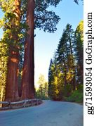 Sequoia - Redwood Forest